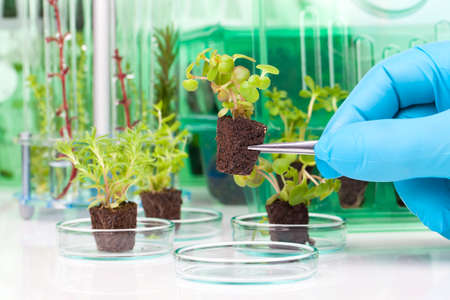 image showing a persons hands in blue rubber glove holding a small leafy plant with tweezers next tn the laboratory