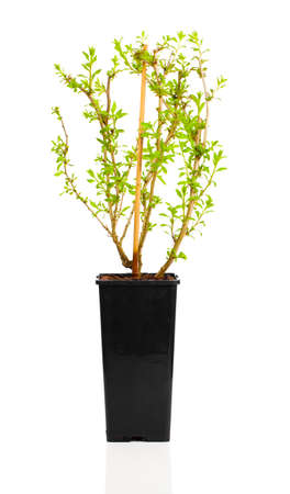 lycium: young plant seedlings Goji berry or Lycium barbarum in pot, on white background Stock Photo