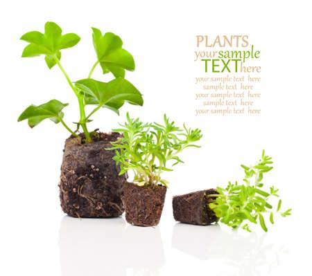 raices de plantas: plántulas de geranio con las raíces listas para plantar, sobre un fondo blanco