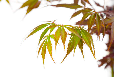 acer palmatum: Autumn foliage , Japanese Red maple tree leaves (Acer palmatum) Isolated on white background