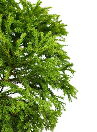 globosa: Cryptomeria japonica Globosa Nana (Dwarf Globe Japanese Cedar), isolated on white background
