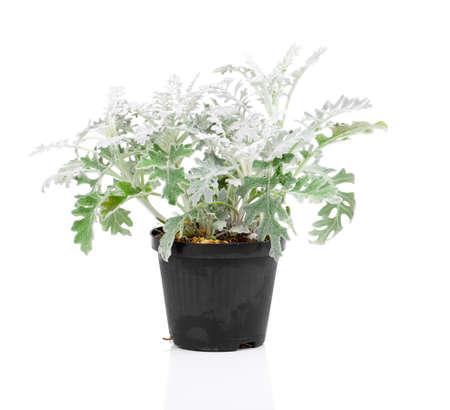 senecio: Jacobaea maritima or silver ragwort plant Stock Photo