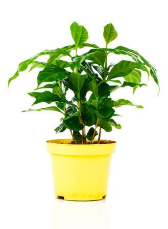 planta de cafe: árbol de la planta de café sobre un fondo blanco