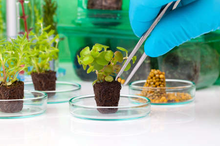 scientific farming: image showing a persons hands in blue rubber glove holding a small leafy plant with tweezers next tn the laboratory