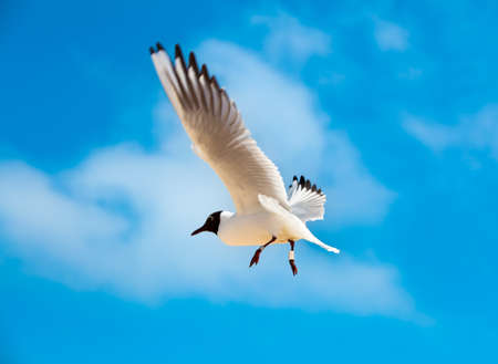 chroicocephalus: flying Gull Black headed Gull, Chroicocephalus ridibundus Stock Photo