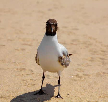 black headed: Gull Black headed Gull on a sandy beach