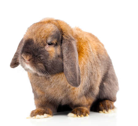 single animal: Isolated image of a brown rabbit.