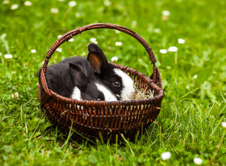lapin: rabbit in a basket on a green grass background
