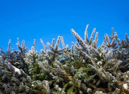 クリスマス ツリーの雪枝 写真素材