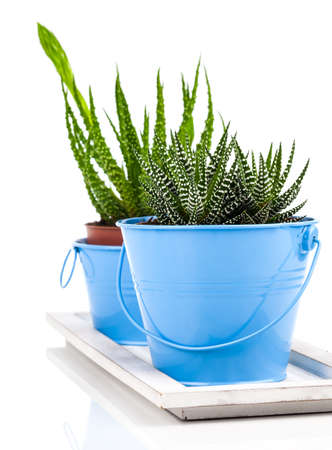 Aloe humilis is a species of the genus Aloe, on white background