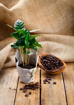 coffee plant tree in paper packaging on sackcloth, wooden background 写真素材
