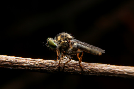 asilidae: close up to robber flies or assassin fly waiting in ambush for its prey on dark background with rim light