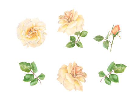 wreath of cream roses and buds set watercolor decor, isolated