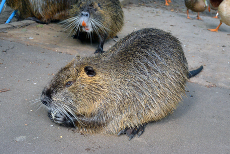 nutria: Wild coypu eating on the walkway in city park. River rat as know as nutria in Nymburk, Czech republic
