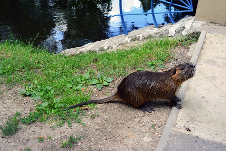 nutria: Cute wild coypu walk on the walkway in city park. river rat as know as nutria in Nymburk, Czech republic