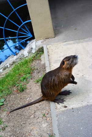muskrat: Wild furry coypu standing on the walkway on the riverside in city park and asking some food. river rat as know as nutria in Nymburk, Czech republic