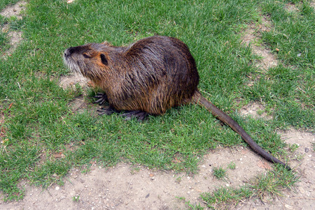 nutria: wild coypu on the grass in city park. river rat as know as nutria in Nymburk, Czech republic Stock Photo