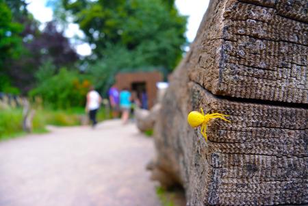 flower  crab  spider: Goldenrod crab spider Misumena vatia on wood. Selective focus. Blured people on background