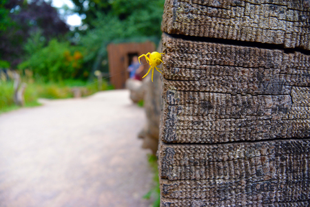 misumena: Goldenrod crab spider Misumena vatia on wood. Selective focus. Blured people on background