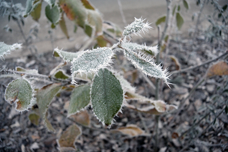 Dark green leaves of the plant covered with winter morning frost. Selektive focus