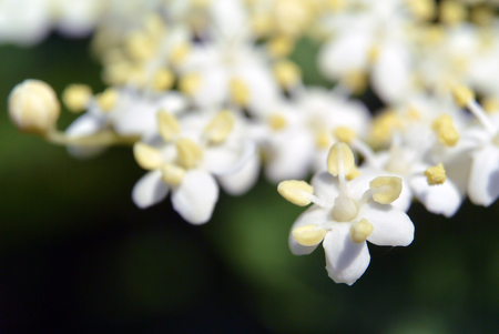Small white flowers on blurred deep green background. Macro shot, selective focus Stock Photo