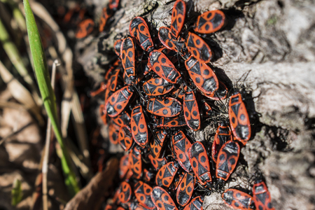 The firebug, Pyrrhocoris apterus, a common insect. Red bugs crowd on tree bark. Selected focus Stock Photo