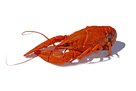 Fresh boiled red crayfish on white background. traditional russian food, beer snack