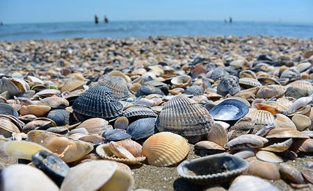 Sea and seashells. A lot of empty sea shells on the beach, close-up view. Sea coast and sea flora.