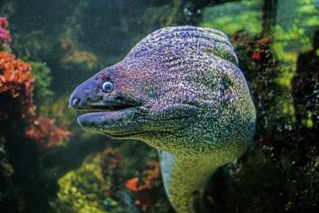 Underwater close up portrait of muraena fish Stock Photo