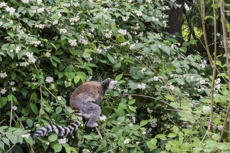 The ring-tailed lemurs,Lemur catta, known as maky or maki, on the blossom tree in springtime 版權商用圖片