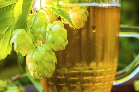 Close up view on Humulus hop cones and glass of cold beer at summer garden