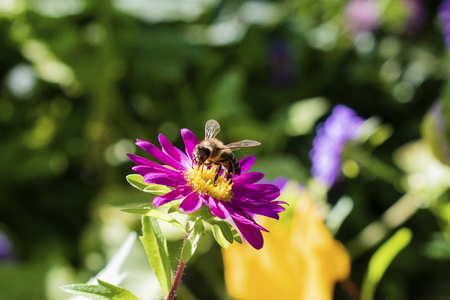 Alpine aster purple or lilac flower with a bee collecting pollen or nectar.