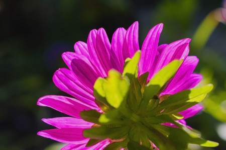 low angle close up macro photography of beautiful pink aster flower over sunrise