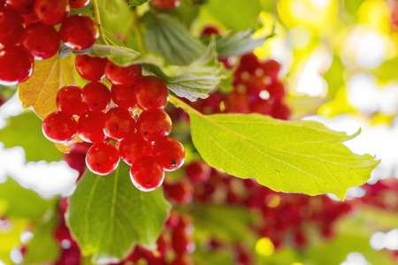 Red viburnum berries on branch in the garden. Green foliage backlit by the sun.
