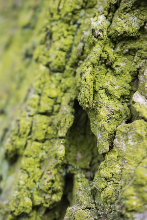 Closeup of a tree bark covered with green moss, macro view with selective focus