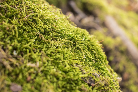 macro photo of Growth of moss in spring, green nature background. 版權商用圖片