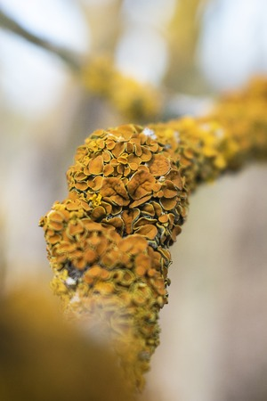Common yellow lichen Xanthoria parietina on bark of tree in spring forest