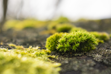macro photo of Growth of moss in spring, green nature background