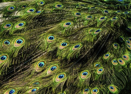 beautiful pattern of colorful peacock tail feathers 版權商用圖片