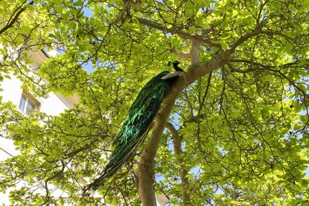 Male peacock sitting on the massive branch of the old tree in spring garden 版權商用圖片
