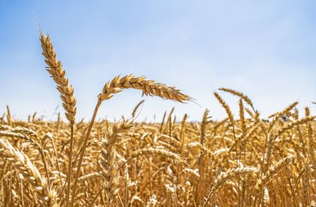 Background with Wheat field and sky. Ears of golden wheat close up. Selective focus. 版權商用圖片