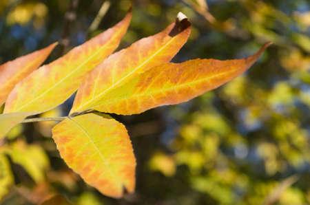 yellowed fall leaf