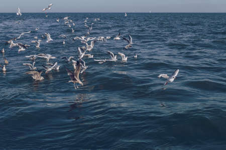 Bunch of seagulls that are flying after fishing trawler in open sea