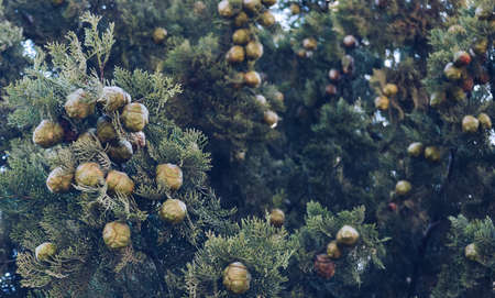 close up view of cypress fruits and branches