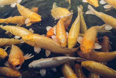 close up view of group of  large golden and white carps in the pond Reklamní fotografie