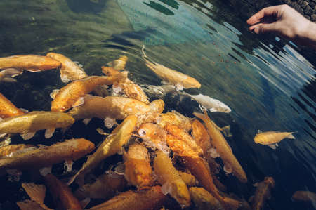close up view of mans hand throwing food at group of golden carpd in the pond