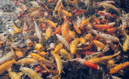 view form above on school of golden carps waiting for their food Reklamní fotografie