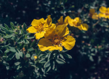 close up view of blooming yellow cinquefoil  flowers with dark green background