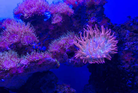 colony of Rose Bubble Tip Anemone (Entacmaea quadricolor) with one of them close up 版權商用圖片