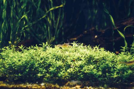 view of Brazos Dwarf Crayfish inside aquarium sitting  in seaweeds 스톡 콘텐츠